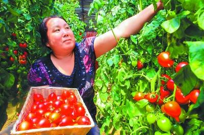 密云县河南寨镇套里村种植农户介绍,这种西红柿果型好,产量高,售价